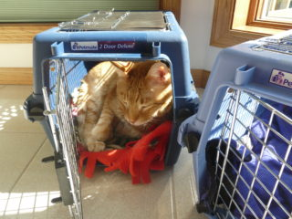Orange cat in blue carrier