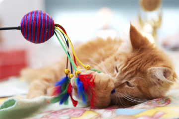 Orange cat playing with toy