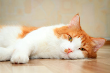 White and orange cat laying down