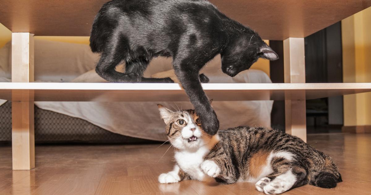 Cat aggression medication