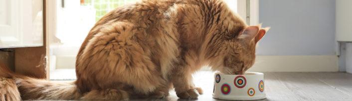 Orange cat eating