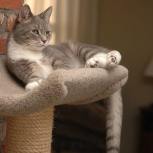 gray-and-white-cat-on-perch-givin