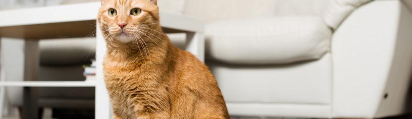 Orange cat in living room