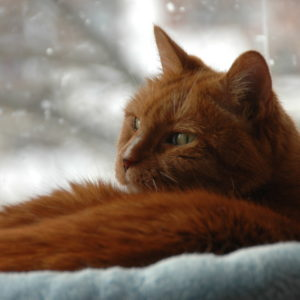 orange-cat-in-winter-givin
