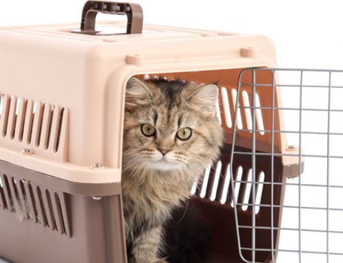 How Does Your Cat Respond When You Bring Out the Cat Carrier?
