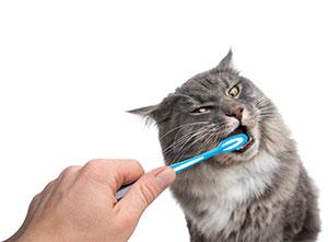 Brushing cats teeth